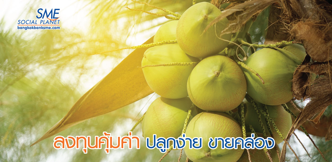 """""""มะพร้าวน้ำหอมออร์แกนิก"""" พืชเศรษฐกิจทำเงิน"""