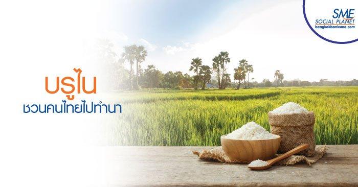 'Kandol' โครงการเพาะปลูกข้าวบรูไน ของภาคเกษตรไทย
